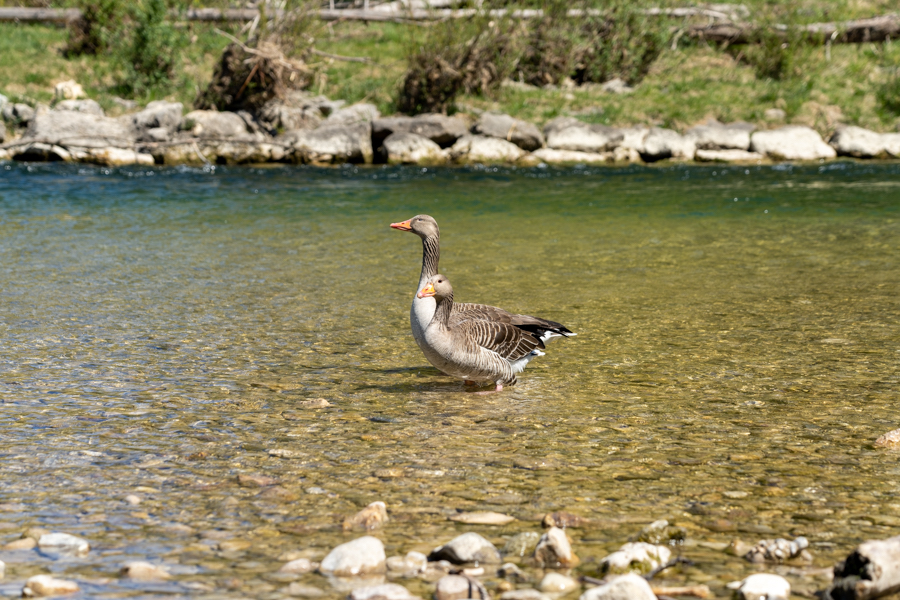 two geese in a river