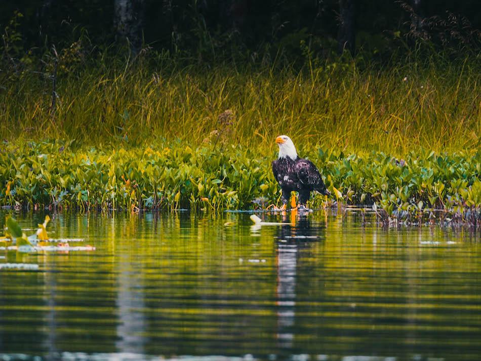 American Eagle in Alaska