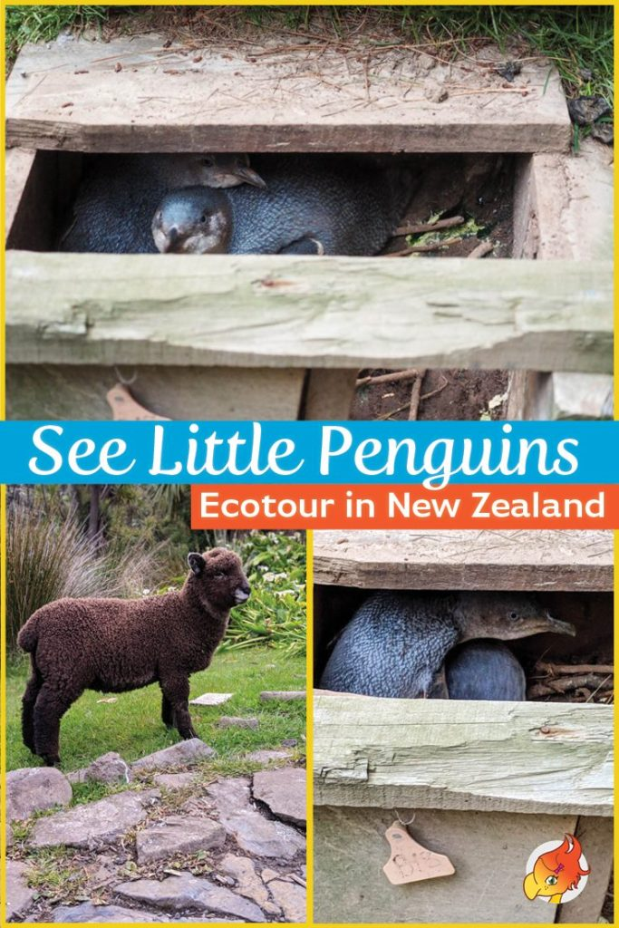 See Little Penguin Eco-tour New Zealand