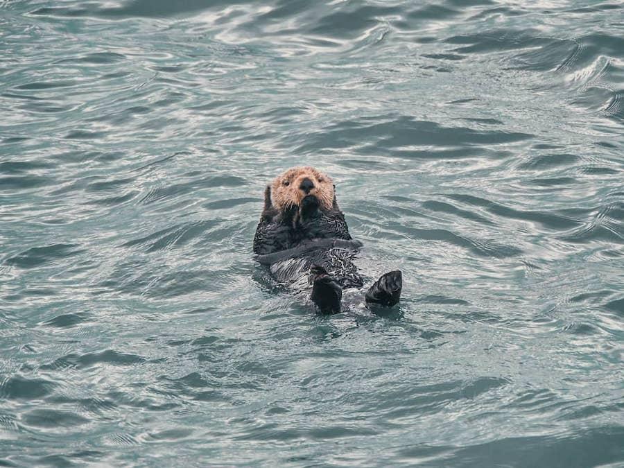 Alaskan Otter Seward Major Marine Tours