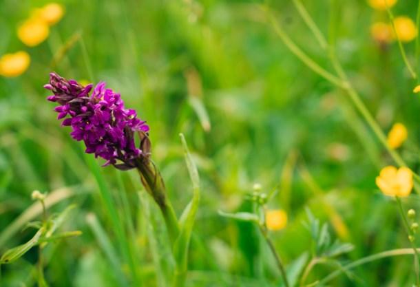 Murnauer Moos Marshland orchid