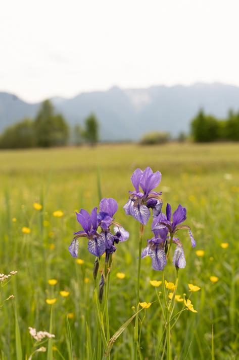 Murnauer Moos Marshland siberian irish