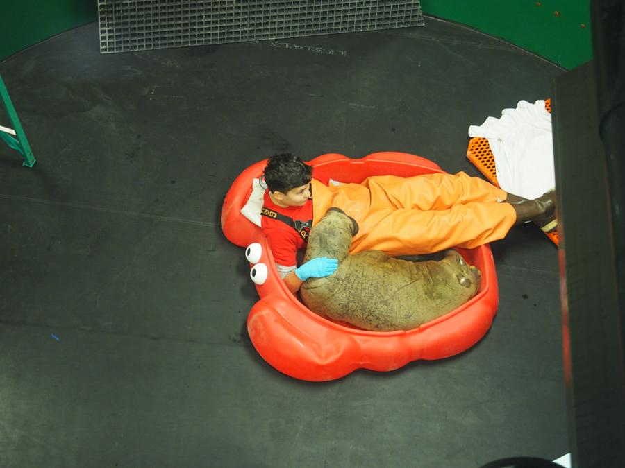 Alaska Sealife Center employee cuddling a rescued baby walrus