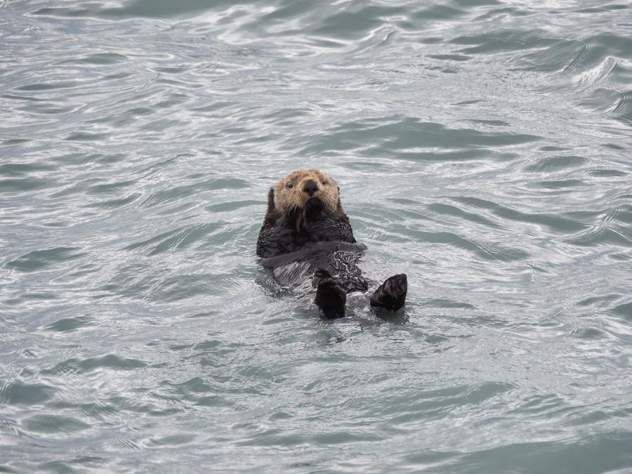 sea otter floating in Resurrection Bay, Alaska