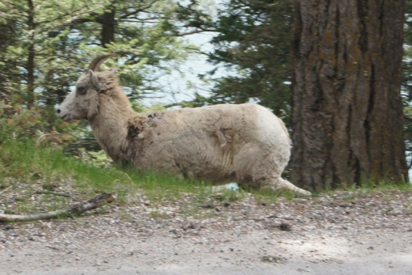 This mountain goat was in the road before he headed down the mountain