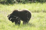 Soon after entering British Columbia we were in Mount Robson Park and saw this bear beside the road