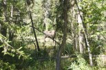Can you see the moose through the trees? He was closer to the boardwalk when I walked by on my way back to the campsite