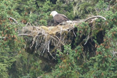 Mama Bald Eagle on nest in Chilcoot State Park, Haines, AK