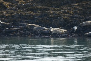 Harbor Seals lounging on the rocks by the lighthouse