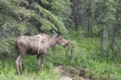 Moose beside the road on the way out of the park