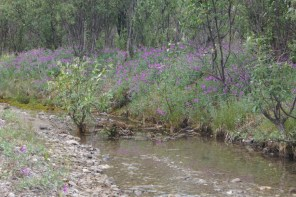 We walked down to the Savage River to find the wildflowers blooming along the bank