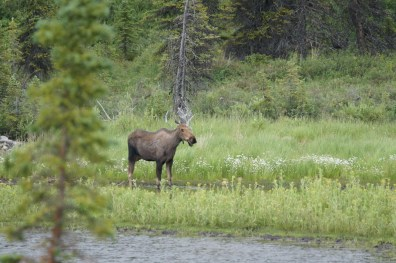 Our first moose sighting was this cow by a pond