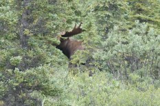 A big bull moose in the bushes