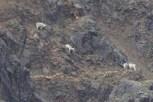 Four Dall Sheep