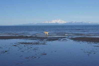 Blondie goes for a walk on Ninilchik Beach