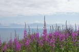 Fireweed behind our campsite made the beautiful view even better