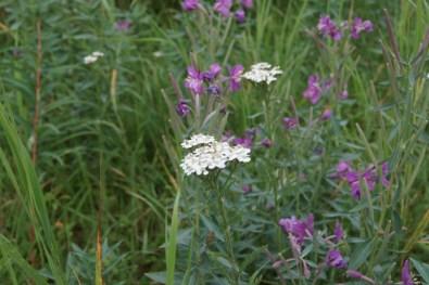 Northern Yarrow and Wild Geranium