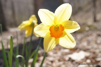 Daffodil beside the trail