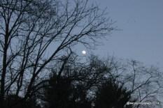 Moon rising through the trees