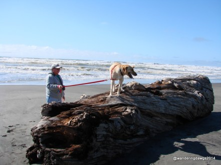 Blondie enjoyed the beach at Cape Disappointment