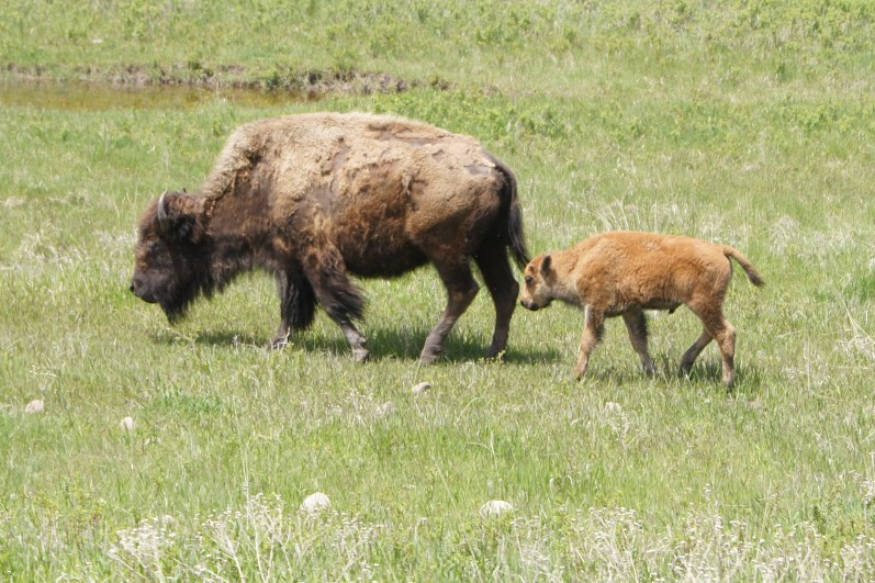 Mama bison with baby on Custer State Park Wildlife Loop Road in June, 2011