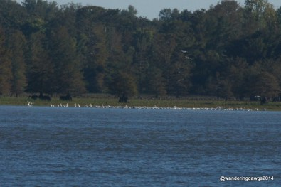 Far at the other end of the lake we saw this huge flock of white pelicans