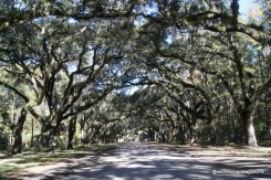 Live Oak Avenue is lined with more than 400 live oaks planted in the early 1890's