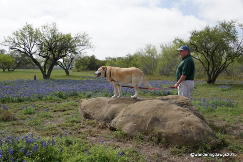 Texas Bluebonnets in Laredo