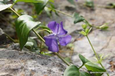 Periwinkle at Longhorn Cavern