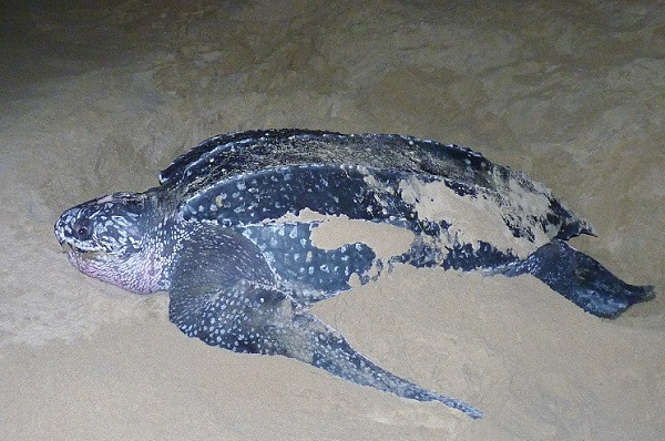 Leatherback Turtle, South Africa