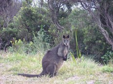 20110517_wallaby-at-cape-otway