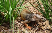 20140818_i-like-iguanas