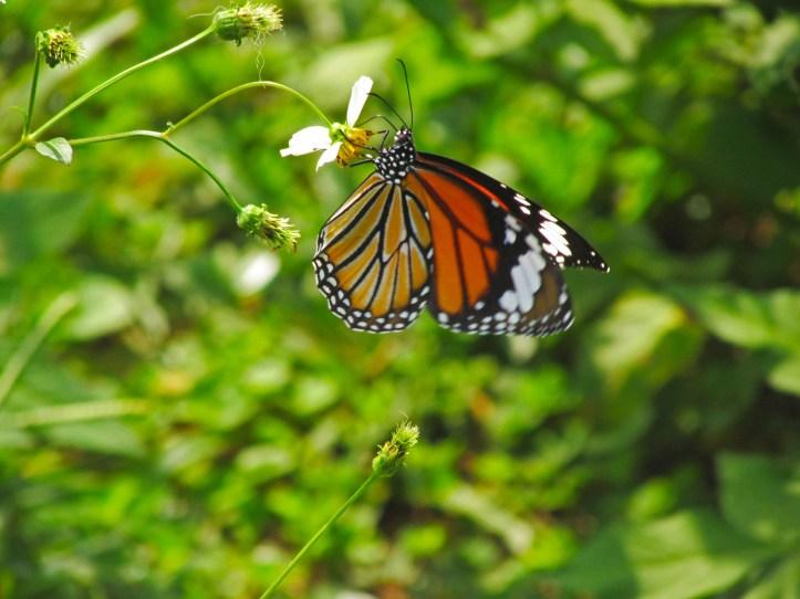 Butterfly in Vietnam
