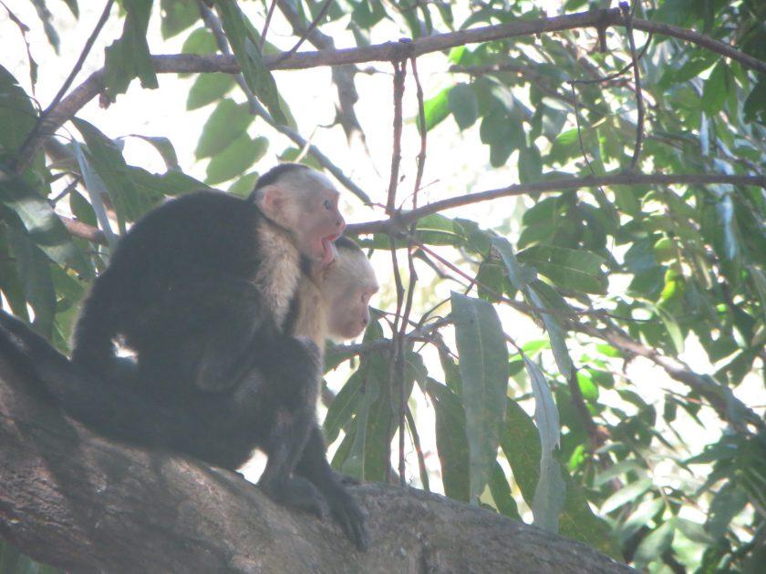 Capuchin Monkey Costa Rica TRLT