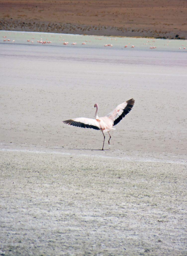 Flamingo taking flight bolivia Salar de Uyuni