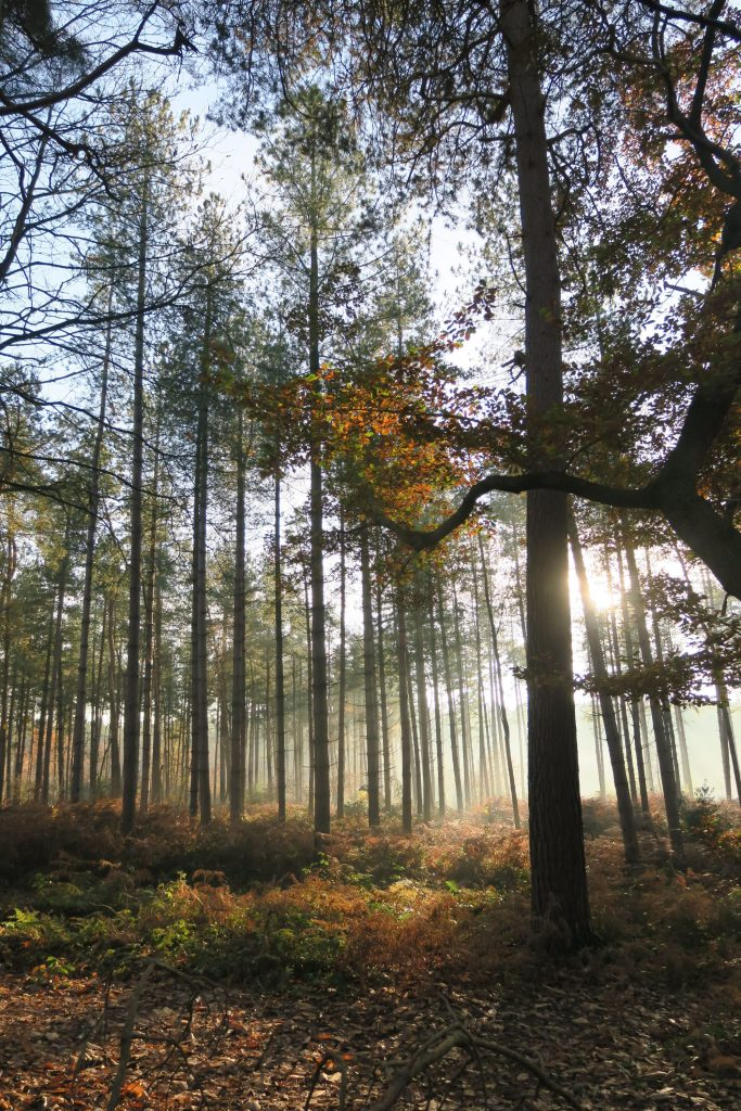 Delamere forest Autumn