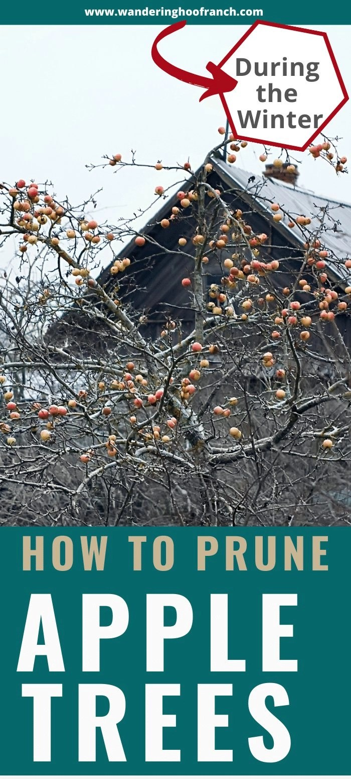 how to prune an apple tree during the winter, barn in background with a dormant apple tree with old fruit on it.