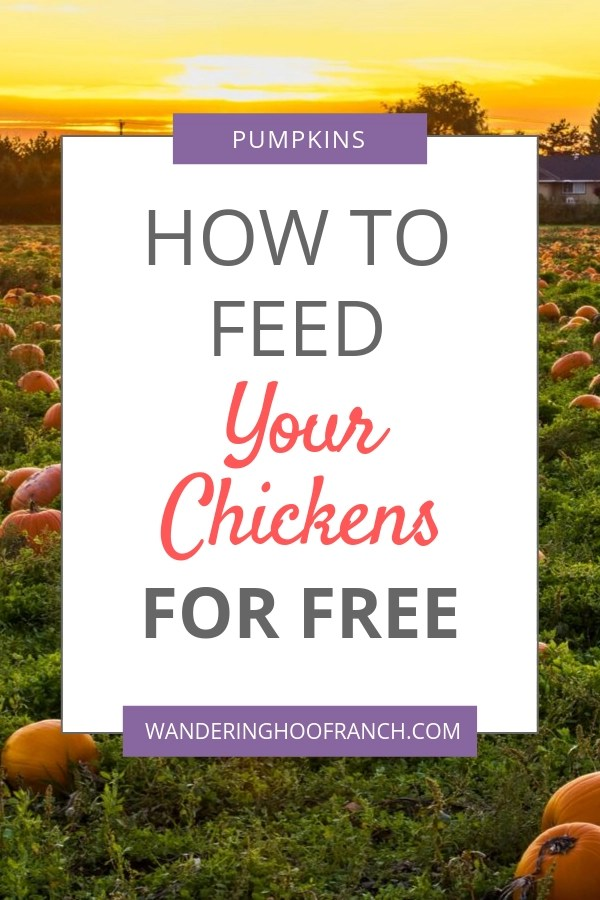Pumpkins for chickens are great healthy, free treats. How to feed your animals pumpkins for free, safely and information about the health benefits of pumpkins for all your animals.