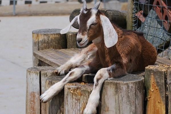goat sitting