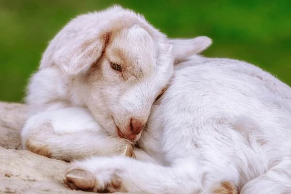 baby goat lying on a rock