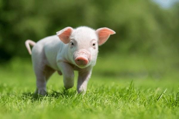 cute running piglet