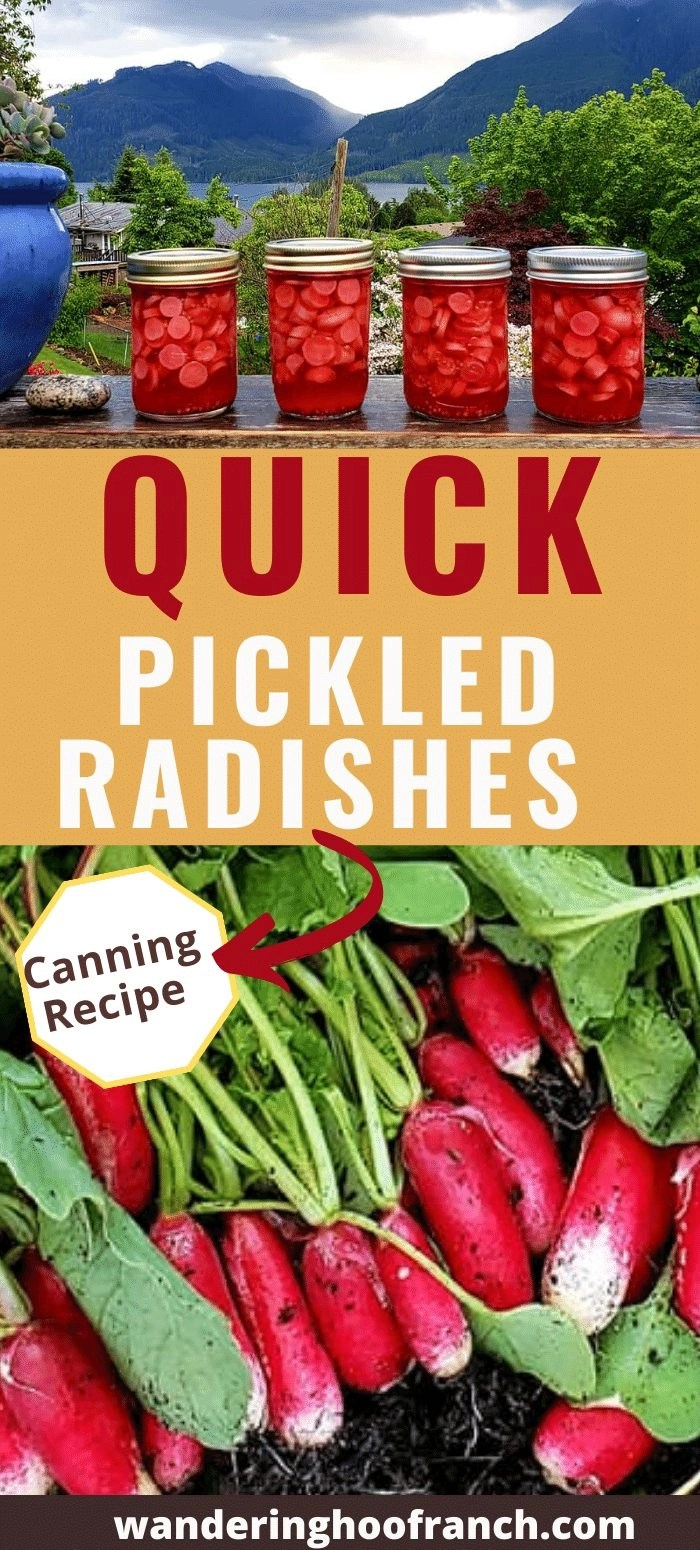 Quick Pickled Radishes Recipe Pin, Jars sitting on deck ledge and fresh radishes in sink ready to clean