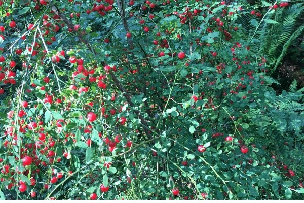 huckleberry bush loaded with red huckleberries ready to be picked and harvested.