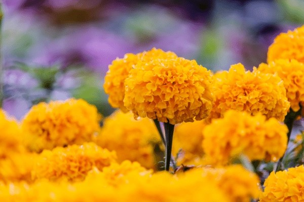 giant crackerjack marigolds in full bloom with rain drops and a purple background