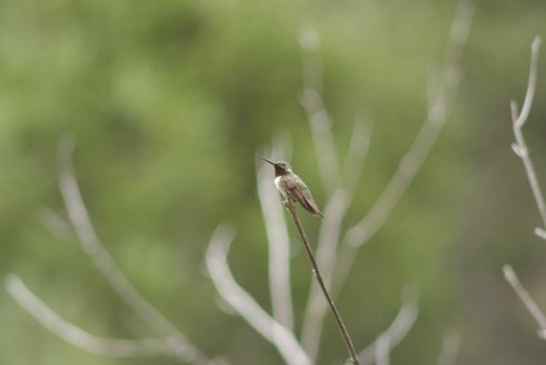 An industrious hummingbird takes a break.