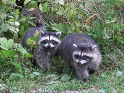 raccoons, stanley park, vancouver