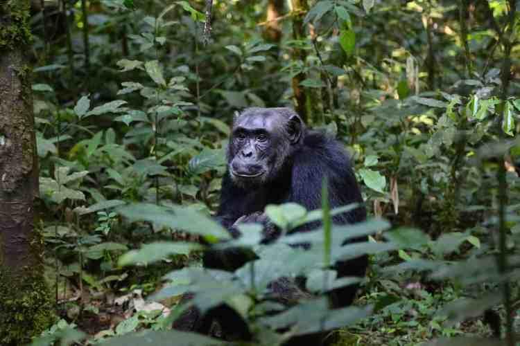Primate trekking in Uganda