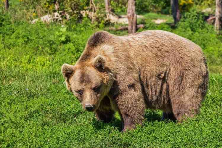Wildlife in Bulgaria includes bears!