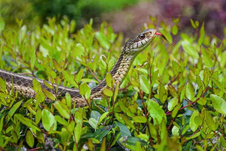 are there snakes in Alaska