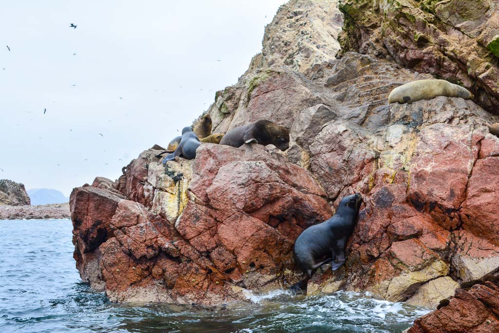 Sea Lions sunbathing in Ica, Peru
